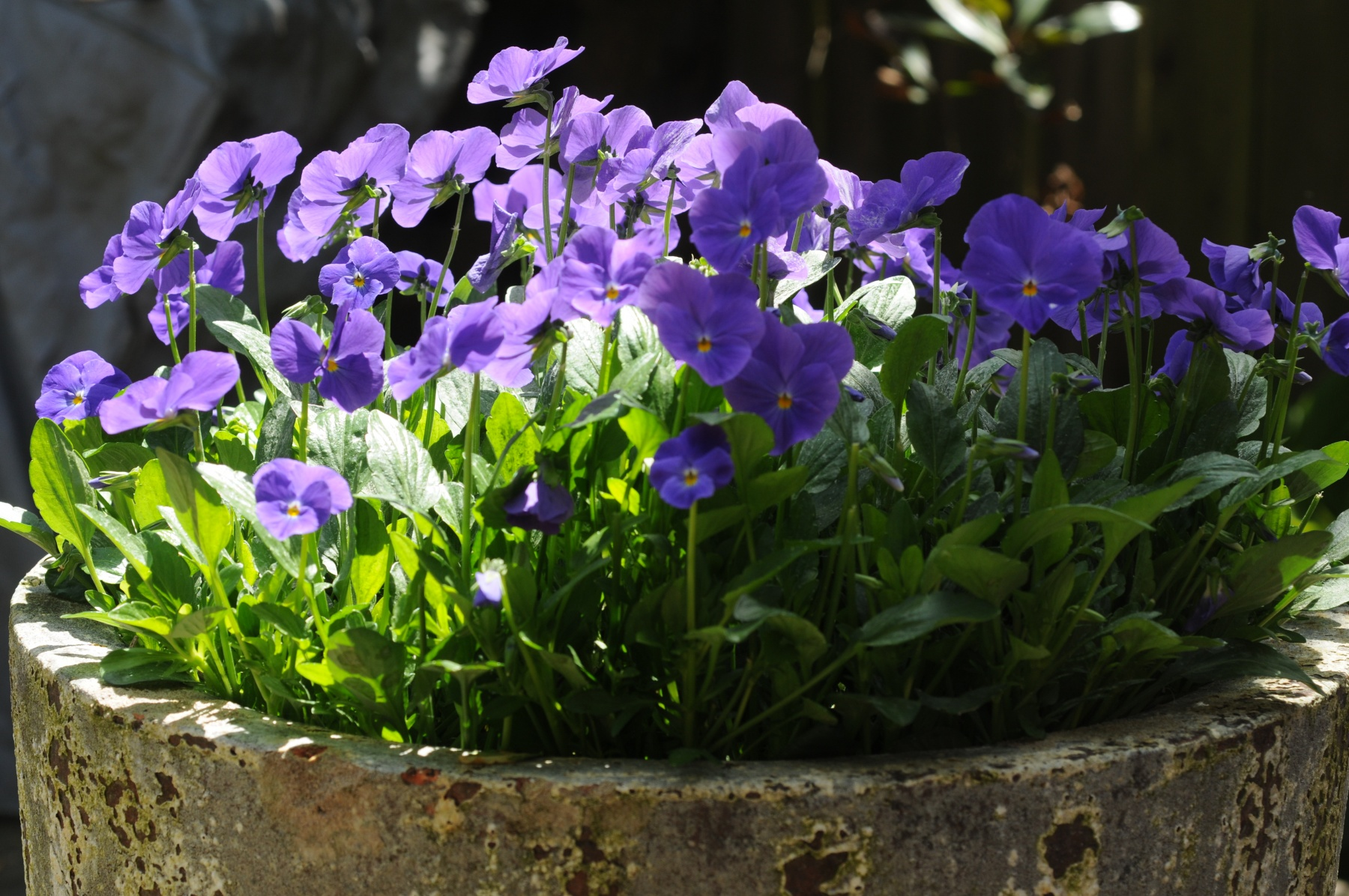 Colour in pots allows the higher-maintenance plants to be easily looked after