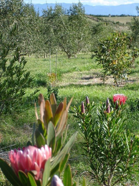 Olive-Grove-4-e1353102454983