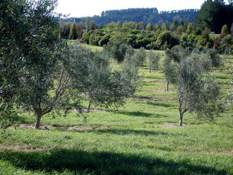 Olive-Grove-8